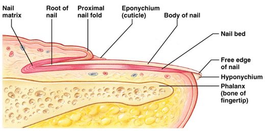 one of the layers is the nail plate (body of nail in the picture) whose  function is to offer protection to the most sensitive part of the skin  which lies